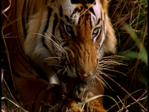 cu royal bengal tiger, panthera tigris tigris, eating in grass, bandhavgarh national park, india - national icon stock videos & royalty-free footage