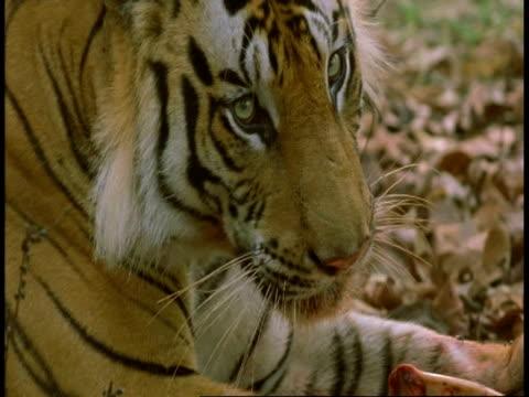 cu royal bengal tiger, panthera tigris tigris eating kill, bandhavgarh national park, india - national icon stock videos & royalty-free footage