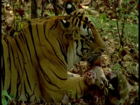 cu royal bengal tiger, panthera tigris tigris, eating kill in jungle, bandhavgarh national park, india - national icon stock videos & royalty-free footage