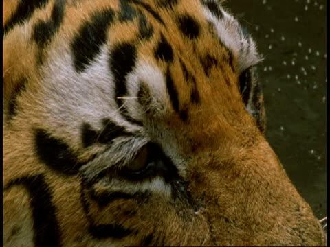 cu royal bengal tiger, panthera tigris tigris, eyes, bandhavgarh national park, india - national icon stock videos & royalty-free footage