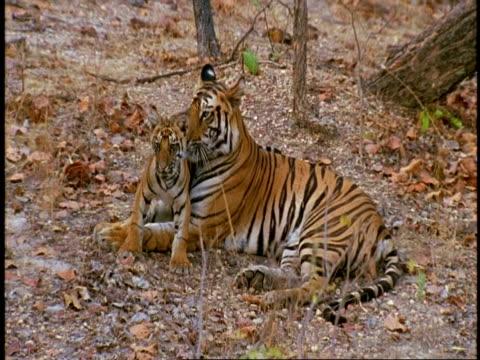 MS Royal Bengal Tiger, Panthera tigris tigris, grooming cub in jungle, Bandhavgarh National Park, India