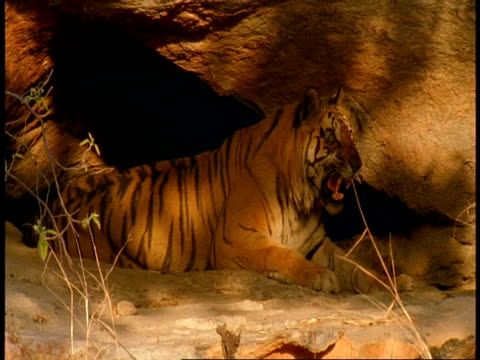 MS Royal Bengal tiger, Panthera tigris tigris, in shelter of cave, snarls, Bandhavgarh National Park, India