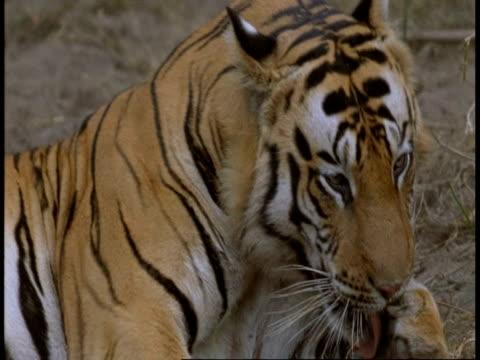 cu royal bengal tiger, panthera tigris tigris, licking paw, bandhavgarh national park, india - bandhavgarh national park stock videos and b-roll footage