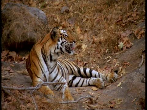 ms royal bengal tiger, panthera tigris tigris, lying down in jungle, yawning, india - tierfarbe stock-videos und b-roll-filmmaterial
