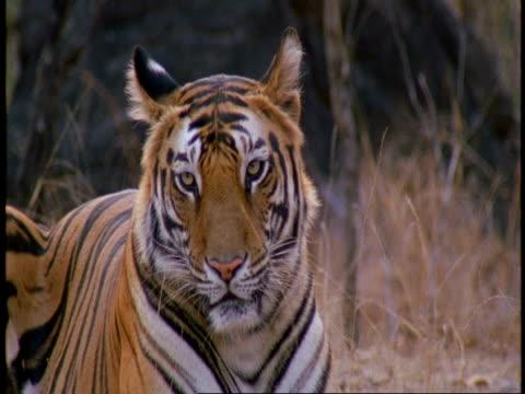 cu royal bengal tiger, panthera tigris tigris, lying in jungle, bandhavgarh national park, india - tierfarbe stock-videos und b-roll-filmmaterial