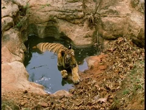 ms royal bengal tiger, panthera tigris tigris, lying in pool, bandhavgarh national park, india - bandhavgarh national park stock videos and b-roll footage