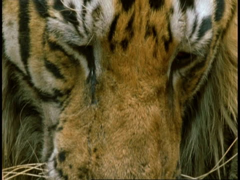 cu royal bengal tiger, panthera tigris tigris, muzzle lapping water from pool, bandhavgarh national park, india - national icon stock videos and b-roll footage