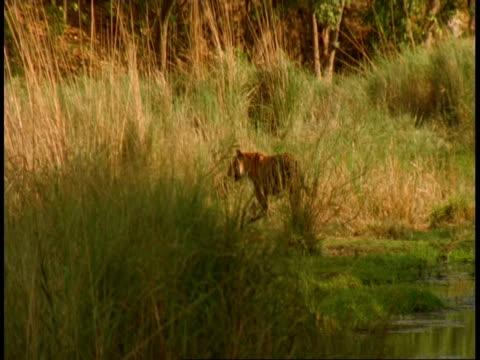 wa royal bengal tiger, panthera tigris tigris, walking away from camera into grass, bandhavgarh national park, india - national icon stock videos & royalty-free footage