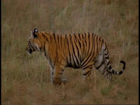 ms royal bengal tiger, panthera tigris tigris, walking through grass, bandhavgarh national park, india - national icon stock videos & royalty-free footage