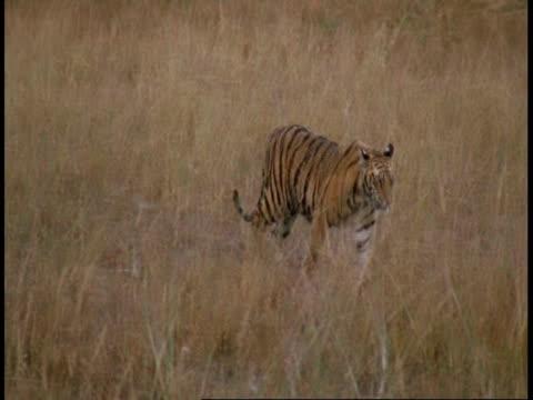 wa royal bengal tiger, panthera tigris tigris, walking through grass, bandhavgarh national park, india - national icon stock videos & royalty-free footage