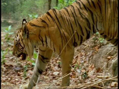 ms royal bengal tiger, panthera tigris tigris, walking through jungle, bandhavgarh national park, india - bandhavgarh national park stock videos and b-roll footage