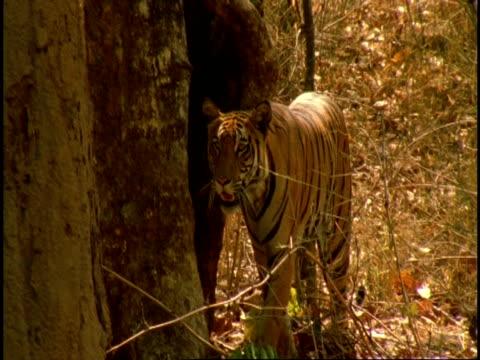 royal bengal tiger (panthera tigris tigris) prowling through forest, eyeing camera suspiciously, bandhavgarh national park, india - national icon stock videos & royalty-free footage