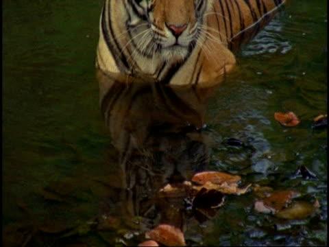 ms royal bengal tiger (panthera tigris tigris) sitting in waterhole, drinking, bandhavgarh national park, india - national icon stock videos & royalty-free footage