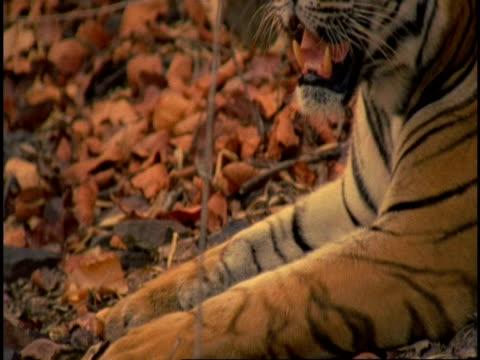 Royal Bengal tiger (Panthera tigris tigris), tilt up from paws to head, Bandhavgarh National Park, Madhya Pradesh, India
