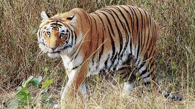 royal bengal tiger - hunting stock videos and b-roll footage