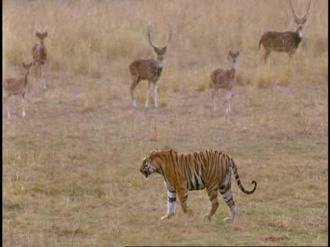 MS Royal Bengal tiger (Panthera tigris tigris) walking across plain surrounded by startled Sambar deer (Rusa unicolor), Bandhavgarh National Park, India