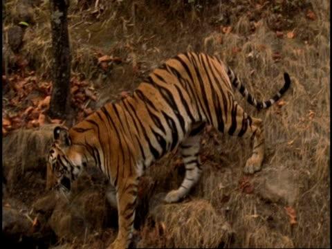 Royal Bengal tiger (Panthera tigris tigris) walking down hillside, Bandhavgarh National Park, Madhya Pradesh, India