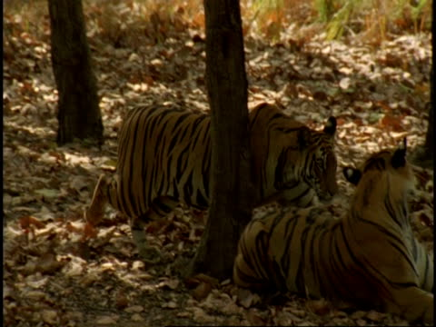 ms royal bengal tigers (panthera tigris tigris) mating in forest, bandhavgarh national park, india - violence stock videos & royalty-free footage