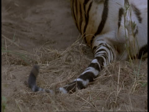cu royal bengal tigers tail moving, bandhavgarh national park, india - national icon stock videos & royalty-free footage