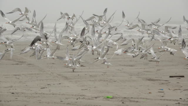 royal forster's terns gulls preen fly mustang island state park gulf coast texas - state park stock videos & royalty-free footage