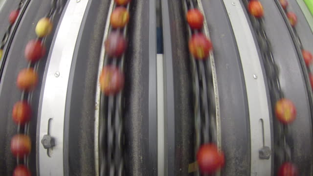Royal gala apples whizz by on specialised conveyor belts at a fruit processing plant, UK.