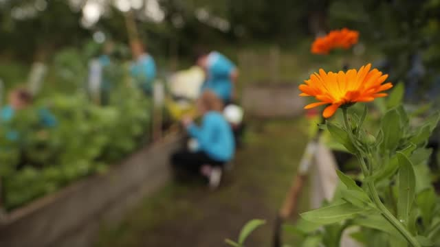 royal horticultural society to announce winners of first community garden awards; scotland: glasgow: lochend community garden: ext sunflowers wide... - purple stock videos & royalty-free footage