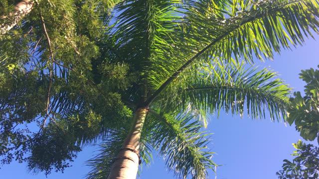 vidéos et rushes de royal palm, low angle view, cuba - arbre tropical