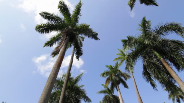 MS LA Royal Palms against sky / Panama City, Panama
