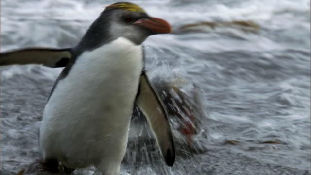 Royal penguin (Eudyptes schlegeli) bathes in surf, Macquerie Island, Australia