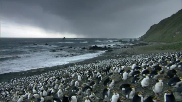 royal penguin (eudyptes schlegeli) colony on rocky coast, macquerie island, australia - colony stock videos & royalty-free footage