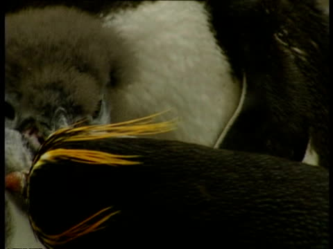 cu royal penguin, eudyptes schlegeli, feeding young, antarctica - animal's crest stock videos and b-roll footage