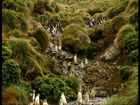 wa royal penguin, eudyptes schlegeli, waddling down track, antarctica - waddling stock videos & royalty-free footage