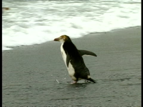 ms royal penguin, eudyptes schlegeli, waddling into sea, swims away, antarctica - waddling stock videos & royalty-free footage