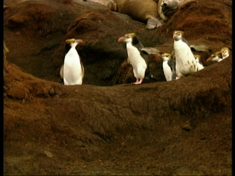 ms royal penguins, eudyptes schlegeli, waddling over rocks, antarctica - animal's crest stock videos and b-roll footage
