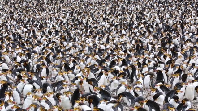 royal penguins (eudyptes schlegeli), macquarie island - colonia di animali video stock e b–roll