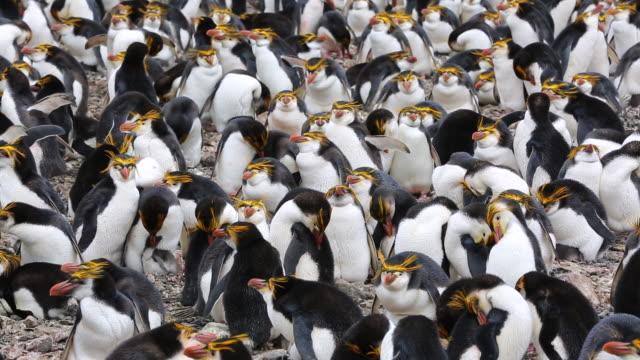 vídeos y material grabado en eventos de stock de royal penguins (eudyptes schlegeli), macquarie island - pingüino cara blanca