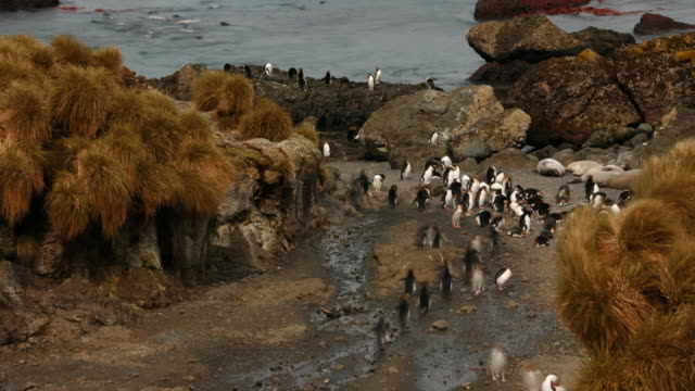 royal penguins march on a path, back and forth from the ocean. available in hd. - antarctic ocean stock videos & royalty-free footage