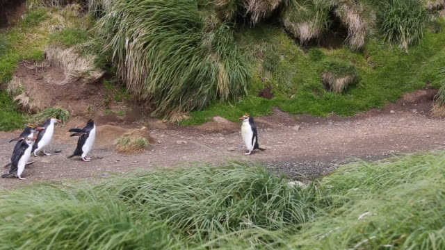 royal penguins meet each other and change direction in humorous clip, macquarie island - antarctic ocean stock videos and b-roll footage