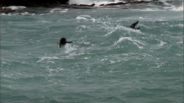 stockvideo's en b-roll-footage met royal penguins (eudyptes schlegeli) porpoise in surf, macquerie island, australia - vier dieren