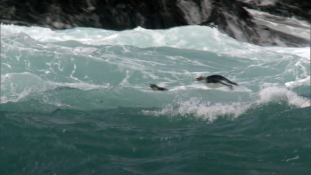 royal penguins (eudyptes schlegeli) porpoise in surf, macquerie island, australia - penguin stock videos & royalty-free footage