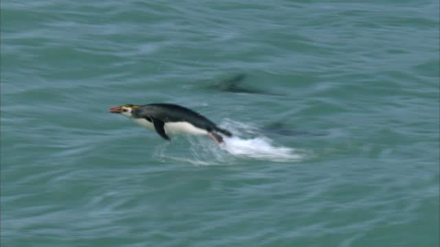 vídeos y material grabado en eventos de stock de royal penguins (eudyptes schlegeli) porpoise in surf, macquerie island, australia - pingüino cara blanca