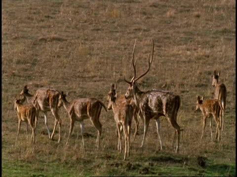 ms royal sambar buck (rusa unicolor) leading harem across plain, bandhavgarh national park, india - national icon stock videos & royalty-free footage