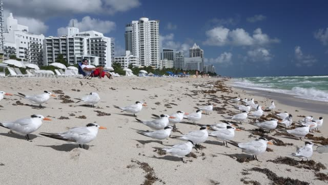 royal terns on the beach in front of hotels and apartment blocks on miami beach, florida, usa. the florida coastline is highly developed and low... - flock of birds stock videos & royalty-free footage