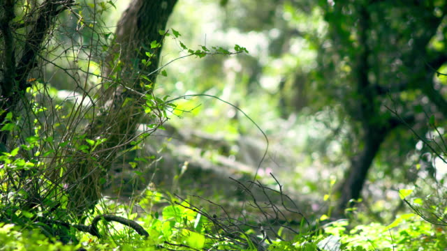 Royalty Free Stock Video Footage of sunlit forest floor shot in Israel at 4k with Red.
