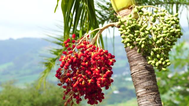roystonea regia fruits - french overseas territory stock videos & royalty-free footage