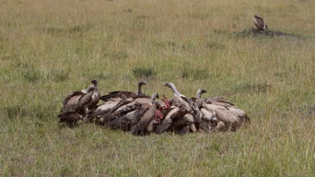 rüppell's vulture, white-backed vulture,lappet faced vulture feeds on wildebeest , maasai mara, kenya, africa - animal attribute stock videos and b-roll footage