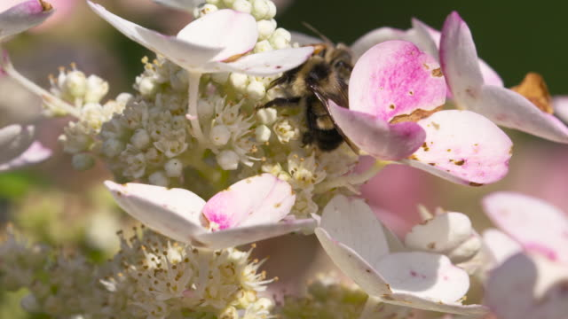 rsuty-patched bumble bee foraging on flowers - foraging stock videos and b-roll footage