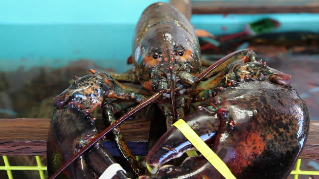 rubber bands hold the claws on a lobster closed. available in hd. - ロブスター点の映像素材/bロール