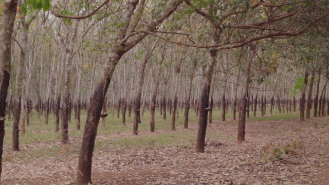 rubber plantation pan - rubber tree stock videos & royalty-free footage