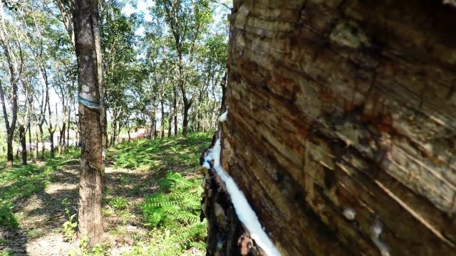 rubber plantation - stick plant part stock videos & royalty-free footage